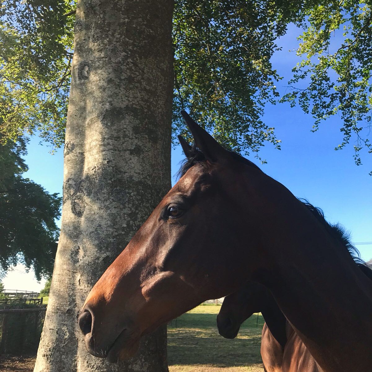 Paddock Time: all racehorses in training are turned out every day in herds